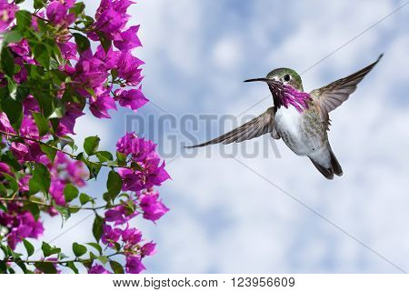 Male Ruby-throated Hummingbird with purple flowers and blue sky background