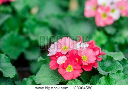 primula flowers. spring flowers primrose in garden