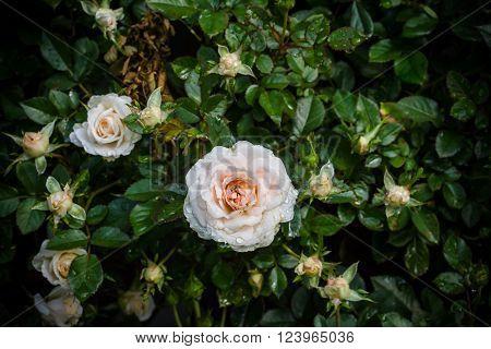 Closeup orange and white rose flower in garden