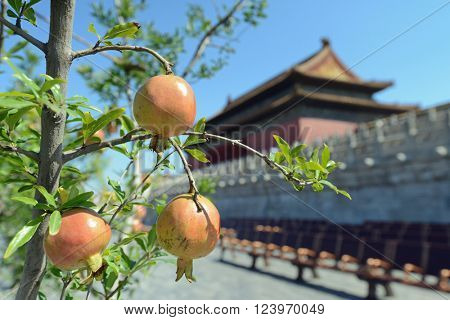 Ripe pomegranate fruits at the Palace Museum (Forbidden City) in Beijing, China