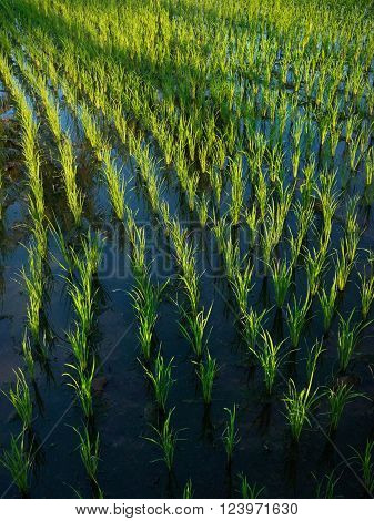 Wet rice cultivation: 15-day-old rice plants grow in irrigated rice fields in Ubud Bali Indonesia.