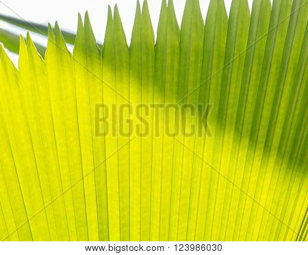 sugar palm leaves green abstract background with back light