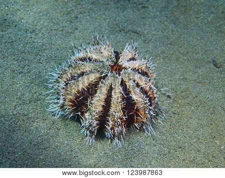 The surprising underwater world of the Bali basin, Island Bali, Pemuteran. Sea urchin