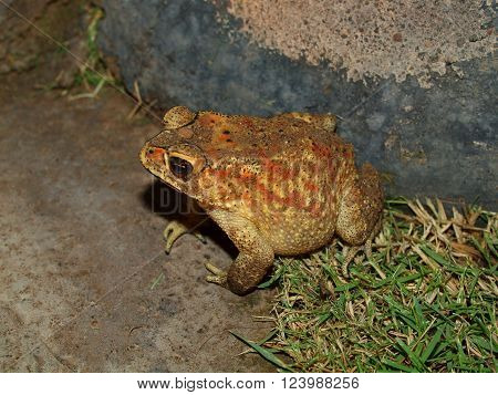 Hoptoad - night land inhabitant of the island of Bali, Indonesia