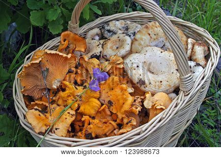 big and beautiful basket of different fungi