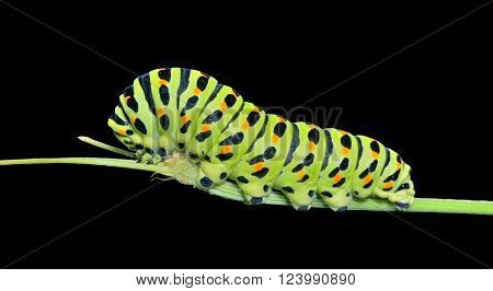 A close up of the caterpillar (Papilio xuthus). Isolated on black.