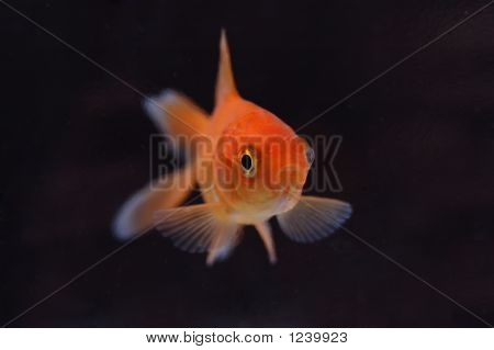 Goldfish 7