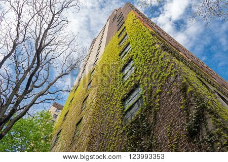 spring ivy leaves on the wall of a brick house