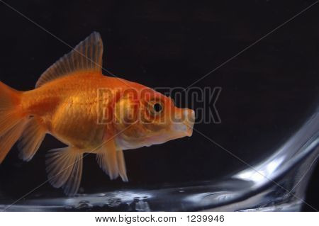 Goldfish 15