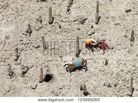 Mangrove crabs fight, Seychelles
