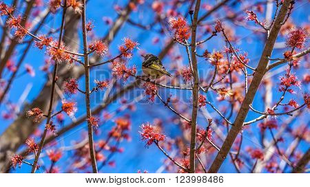 American yellow warbler sitting on blooming maple tree