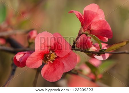 Chaenomeles Japanese flowers buds and leaves on a blurred background