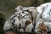 Two White Tigers.