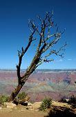 Lonely Tree, Grand Canyon, Az