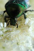 picture of meadowsweet  - Rose chafer  - JPG