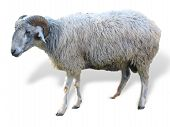 picture of suffolk sheep  - Sheep in front of a white background - JPG