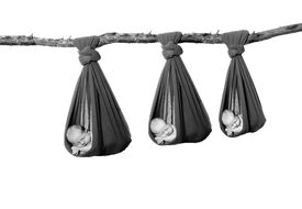 pic of cocoon tree  - Three newborn babies handing in a cocoon sling by a tree branch - JPG