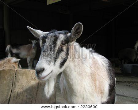Goat In Petting Zoo