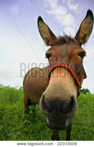 face to face with a mule
