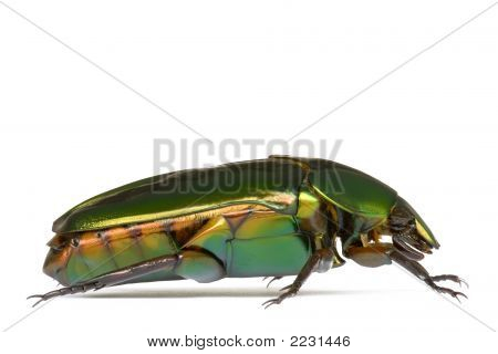 Tropical Rainforest Beetle
