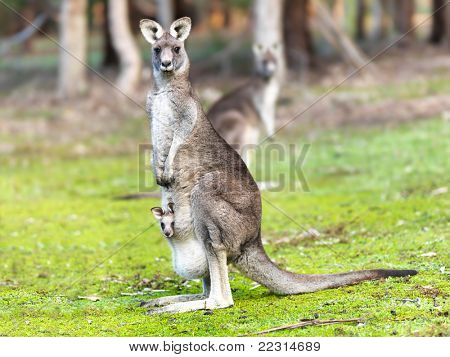 Kangaroo with baby alert