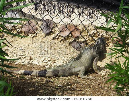 Iguana by Fence