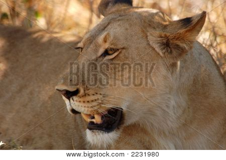 Close-Up Of A Young Female Lion; Panthera Leo