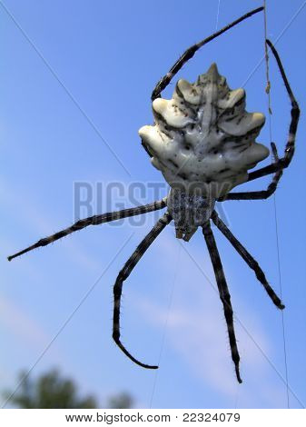 Argiope lobata spider against the sky
