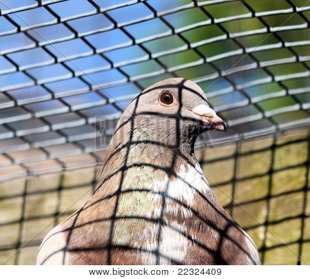 Pigeon In Cage