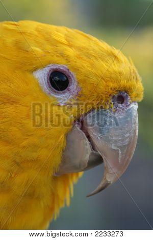 Head Of A Golden Conure