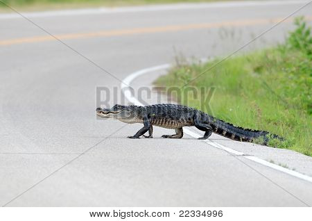 Large American Alligator In The Road