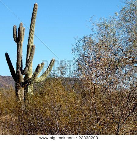 Giant Saguaro Cacti in the Sonoran Desert
