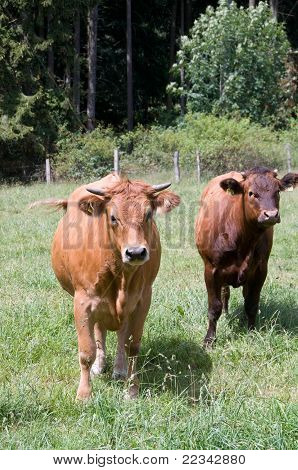 Brown cows .