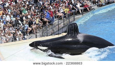 A Killer Whale Beaches Itself In An Oceanarium Show