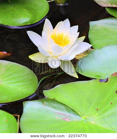 European White Waterlily, White Lotus, or Nenuphar (Nymphaea alba) It contains the active alkaloids nupharine and nymphaeine, and is a sedative and an aphrodisiac.