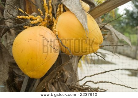 Coconuts On The Palm