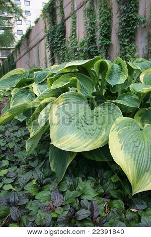 Hostas Against Wall