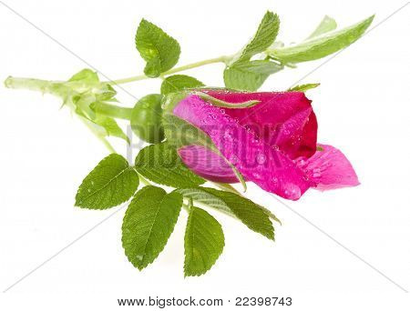 brier , wild rose isolated on white