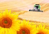 Combine harvester and sunflowers field. Environmental metaphor.
