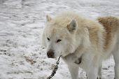 White Sled Dog