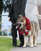 image of seeing eye dog  - german shepherd as part of wedding entourage - JPG