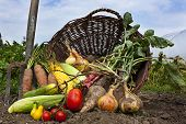 stock photo of root-crops  - A harvest of seasnon vegetables spilling from a wicker basket - JPG