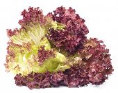 image of butter-lettuce  - Red lettuce Leaves - JPG