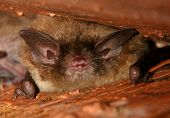 image of rabies  - Little Brown Bat under rafters in an old building - JPG