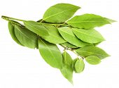 stock photo of bay leaf  - branch of laurel  bay leaves isolated on white - JPG