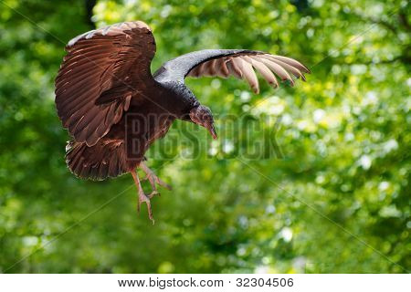 Black vulture in flight in forest