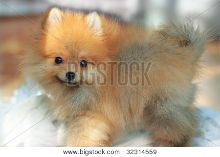 face of pomeranian dog two month age
