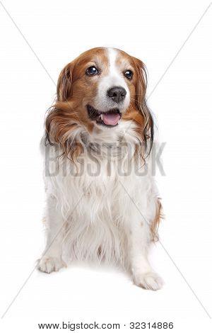 Kooiker Hound