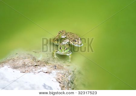 two green frogs