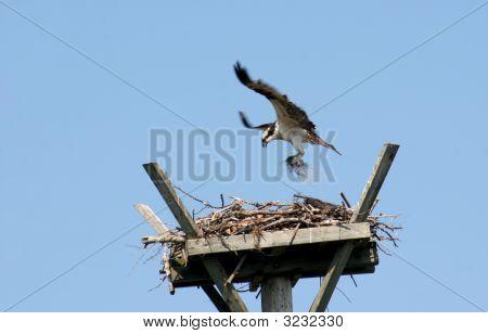 Osprey Landing On Nest